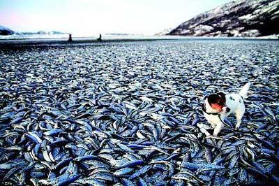 挪威人想知道这些鱼是怎么死的,更想知道如何清理它们